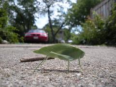 Photo 002 (karyney darko) Tags: green bug katydid