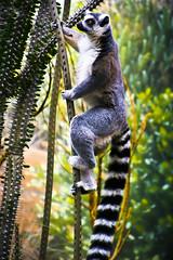 Lemur climbing (alan shapiro photography) Tags: climbing lemur bronxzoo madagascar striped 2010alanshapiro alanshapirophotography wwwalanwshapiroblogspotcom 2010alanshapirophotography