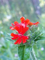 Red (Elsa Kurppa) Tags: red flower suomi finland blomma 2008  rd punainen kukka burninglove  lychnischalcedonica brennendeliebe  palavarakkaus brinnandekrlek elsakurppa