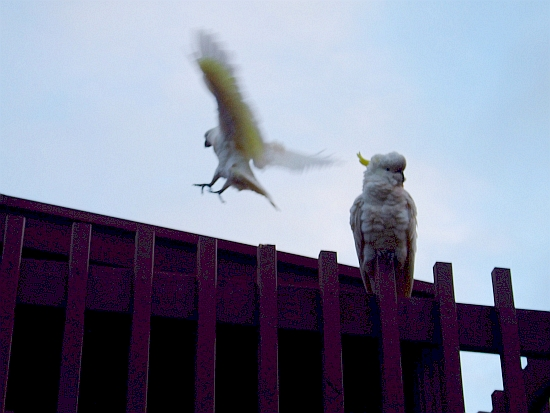 blurry landing cockatoo