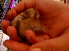 Noisette's baby bunny (dora_marie) Tags: baby canada rabbit bunny nid video nest quebec sweet conejo small adorable august qubec tiny newborn rabbits 2008 bun bb lapin kaninchen aot lapins vido noisette conejos nouveaun lapereau