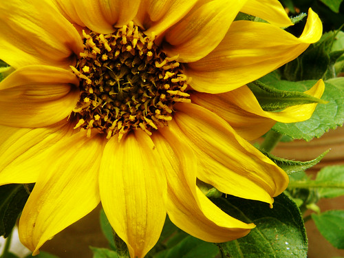 Ronja's sunflower