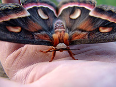 03-0360 Cecropia Moth close up (darylann) Tags: moth cecropia cercopia darylannanderson darylannandersonphotography wwwdarylanncom