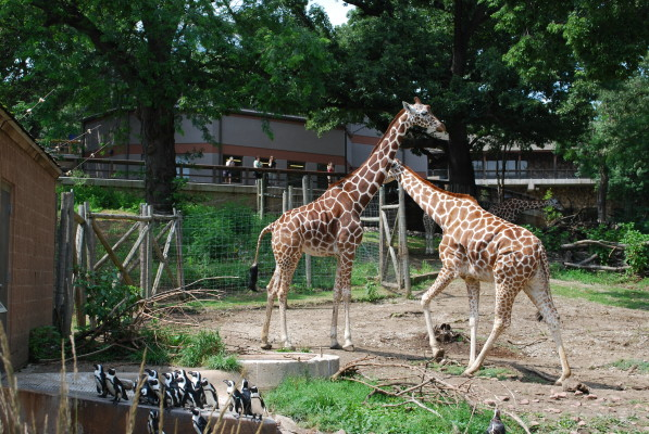 giraffes_1