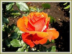Feliz Primavera 3 (uvahay) Tags: flower primavera amor vida fiori rosas printemps wonderfulworldofflowers