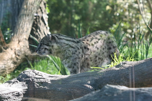 Fishing Cat (Prionailurus viverrinus) by cliff1066™.