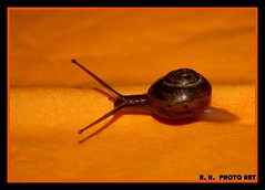 SLOW FOOD (Tauchflodder) Tags: orange macro snail haus fabulous schnecke fhler flickrbestpics