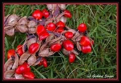 magnolia seed 2 (Gery Singer) Tags: red naturesfinest blueribbonwinner bej golddragon abigfave anawesomeshot aplusphoto top20red