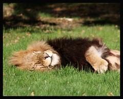 Cat Nap (miacat63) Tags: wildlife lion tigers longleat lioncubs meerkats amurtiger flickrbigcats