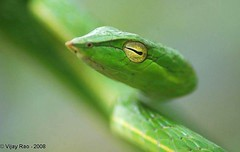 beauty, thy colour is green (Vijay Rao Photography) Tags: greenvinesnake arrs ahaetullanasuta agumberainforestresearchstation