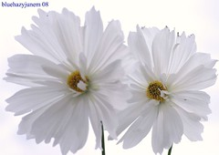white on white (bluehazyjunem) Tags: park autumn sky white memorial 2008 cosmos showa 昭和記念公園 impressedbeauty