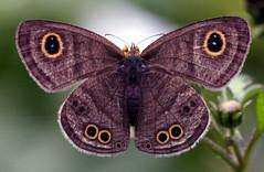 wings X (xeno(x)) Tags: light color macro art nature canon butterfly wings asia explore 2008 xeno bej specanimal 40d ahqmacro ubej