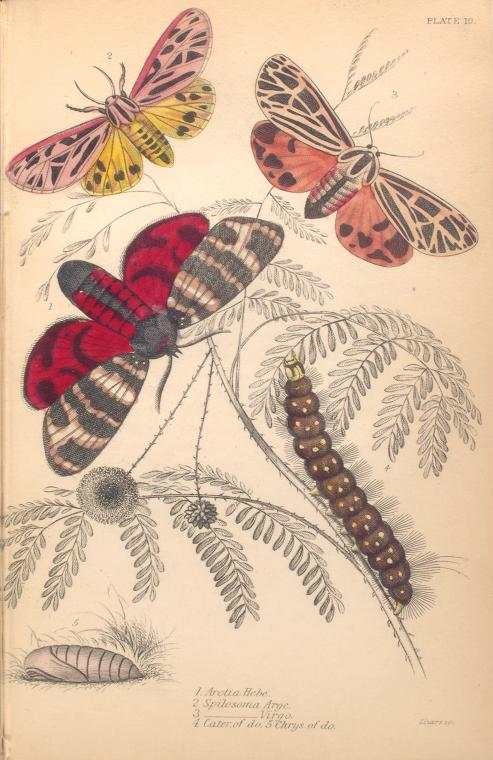 1. Arctia Hebe; 2. Spilosoma Arge; 3. Spilosoma Virgo; 4. Cater. of ditto; 5. Chrys. of ditto.  (1843)
