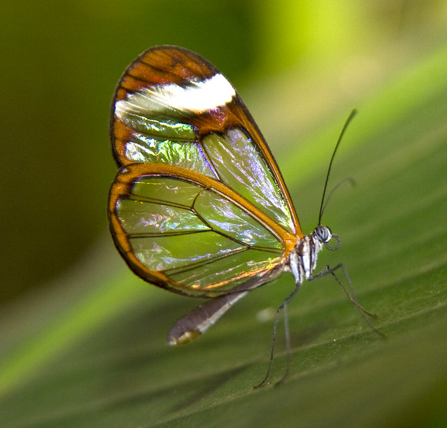 Irridescent Glass Wing Butterfly