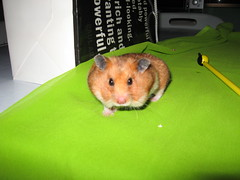"""Bye Bye ..Me miss you""-*Puff* (Myst*) Tags: vacation pet cute green animal rodent sweet puff hamster mammalia chomik goldensyrian missyoupuff pleasedontforgetmeandpuff"