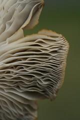 mushroom1 (*Melody*) Tags: plant mushroom lincolnshire fungi fungus delicate sleaford abigfave pfogold pfoislandgold