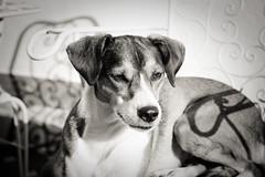 DSC_2556 (Iratxe Martinez) Tags: barcelona blackandwhite dog pet beagle 50mm spain manual nikkor naru nikond40