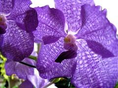 o r c h i d (✿ Graça Vargas ✿) Tags: orchid flower gallery purple explore orquídea interestingness272 i500 graçavargas falenópsis phalaenopsisxhybridus ©2008graçavargasallrightsreserved 92224110811