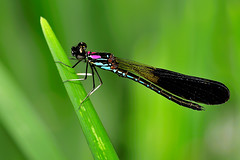 MAN_7728 (anjur) Tags: macro nature animal fauna insect dragonfly damselflies d300 105mm sigma105mm sigma105mmexdgf28 dragondaggerphoto