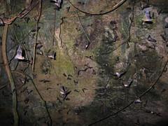 boas and bats (S_Crews) Tags: puertorico caribbean bat snake herp reptile mammal flyingmammal greaterantilles cave matadeplatano epicratesinornatus squamate boidae epicrates predation chilabothrus