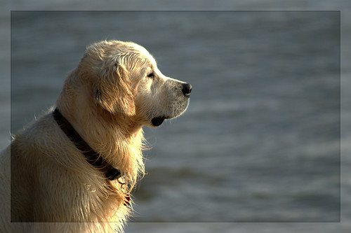 Labrador, golden retriever.