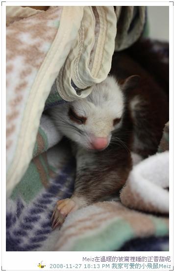 2008年11~12月份小飛鼠Meiz的生活照 (1)