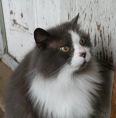 Smokey (slovakftw) Tags: cat himalayan