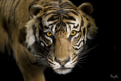 Tigrou (Geeflex) Tags: animal 50mm tiger 14 planet lowkey tigre animalplanet tigrou aplusphoto