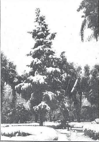 Árboles en Toledo cubiertos de nieve en 1930. Foto Rodriguez para Revista Nuevo Mundo
