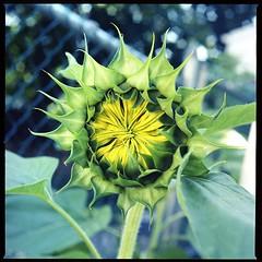 Summer 2008 Sunflower (Hobo W149) Tags: flower slr 6x6 film nature analog zeiss mediumformat dof kodak bokeh hasselblad analogue 500cm carlzeiss c41 proxar victorhasselblad synchrocompur hobow149 justmeandthecamera