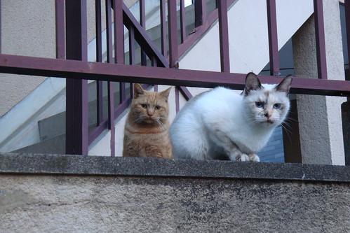 白猫と茶トラ