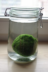Giant marimo (Patricia In A Jar) Tags: jar waterplants marimo containergardening