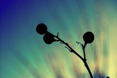 hueledenoche (5988 Trillions de Tonnes) Tags: sun anime color verde japan azul contraluz noche aqua year cyan greetings berserk jaja calor lilas mayavilla 7knelas hueledenoche aquiestuvomayavillaalratoregresaxd puesnoesflorperosiempresonparamayavilla