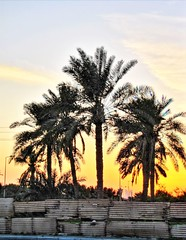 Qalali 2 (heshaaam) Tags: trees sunset bahrain palm qalali