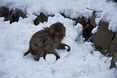 Another baby monkey (chris-lh) Tags: japan  nagano  naganoken  jigokudani  monkey monkeys  hotspring onsen  snow  winter  cold  bath hellvalley explore flickr interestingness chris