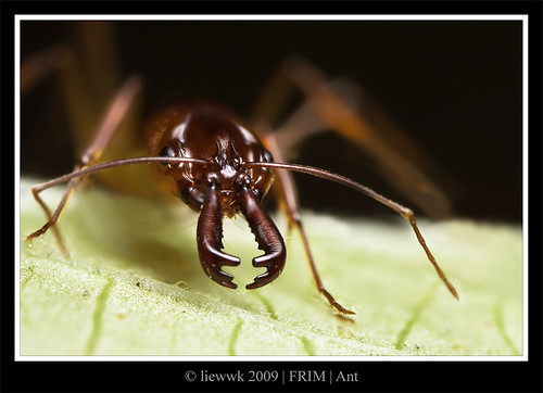 Trap Jaw Ant Bite 10.4 Trap-jaw Ant Let me