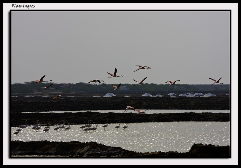 Lesser Flamingoes