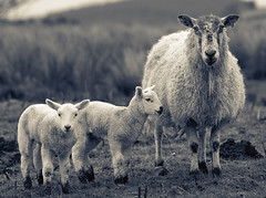 Spring Lambs (Dan Baillie) Tags: scotland spring sheep lambs animalplanet galloway dumfriesandgalloway puddock wigtownshire danbaillie bailliephotographycouk bailliephotography wigtownshirephotographer dumfriesandgallowayphotography