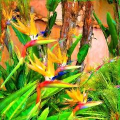 ~ BIRDS OF PARADISE FOUND ~ (Dom Guillochon) Tags: california trees usa art beach colors unitedstates sandiego couleurs beachlife pb pacificbeach colori californiacoast birdsofparadise bananatrees anawesomeshot vanagram