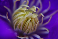 Clematis Heart (Explore #77 May 12) (piratetuba) Tags: flower macro clematis pistil explore stamen vanburen bloom arkansas quintaflower fifthflower quintaflores