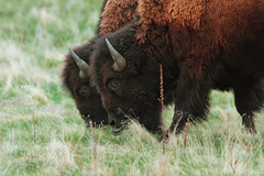 Bison of the  Antelope Island , Great Salt Lake  Utah (janusz l) Tags: canon utah wildlife antelopeisland greatsaltlake bison janusz leszczynski 400mmf28 233651