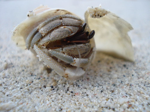 Alor Island - Small hermitcrab at the beach