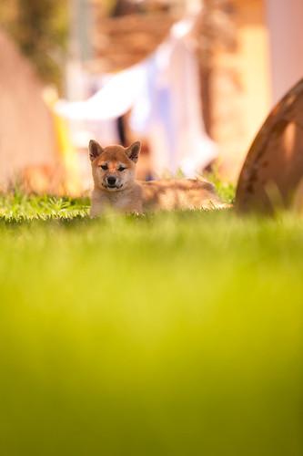Sora in the grass : Shiba Inu