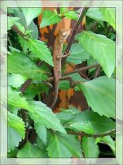 Calotes versicolor (Garden Fence Lizard Changeable Lizard), captured December 16, 2007