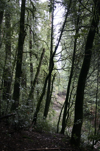 tanoak and redwood forest