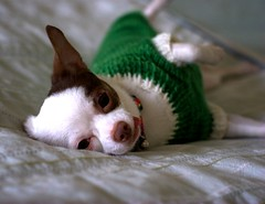 So Comfy She Can't Even Move (anxiousdog) Tags: dog pet chihuahua wool lucy sweater knitting knit clover hua fo intarsia dogsweater 4leafclover litswd puppysweater