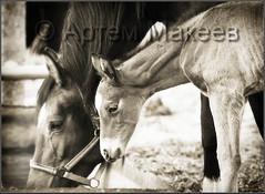 (White Bear) Tags: horses horse canon russia 5d russian россия лошадь русский конь кони лошади русские российская россии российской