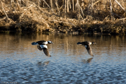 Bufflehead in Flight
