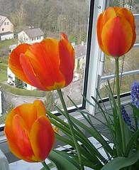 Tulpen voll erblueht