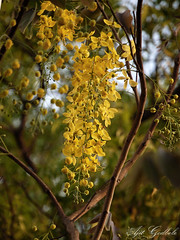 Golden Shower (.....) Tags: flower yellow d40 bahava kanikonna